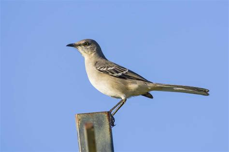 founding father declared love for mockingbirds houston