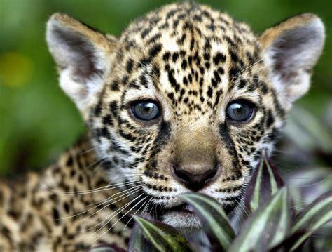 Aún Es Posible Encontrar Jaguares