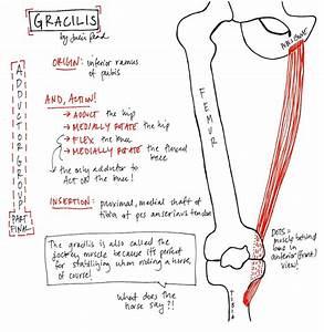 Gracilis Stretch Related Keywords & Suggestions - Gracilis ...