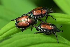 Insecte Qui Mange Le Bois : insectes et maladies du rosier espace pour la vie ~ Farleysfitness.com Idées de Décoration