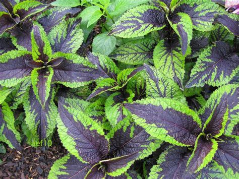 coleus cultivars arborboy two annuals of note coleus and verbena cultivars