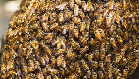 thousands  bees wreaked havoc   wal mart parking lot