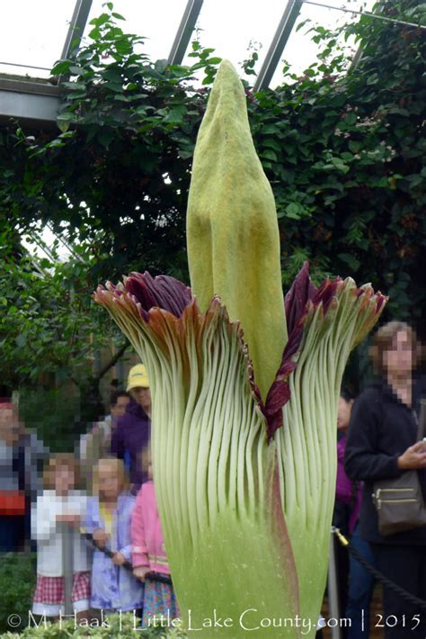 corpse flower in bloom at botanic garden