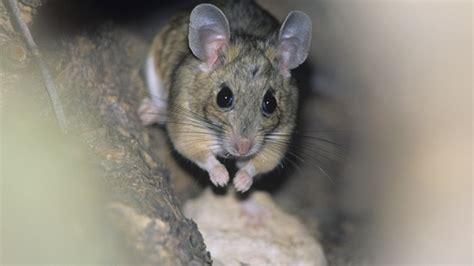 Mäuse In Der Zwischendecke  Kammerjäger Oder Diyfalle?