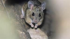 Mäuse Bekämpfen Haus : m use in der zwischendecke kammerj ger oder diy falle ~ Michelbontemps.com Haus und Dekorationen