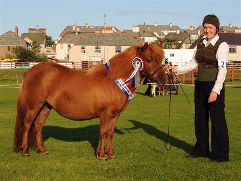 shetland ponies breed