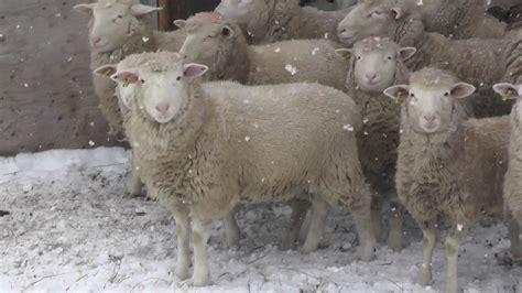 Dorset Sheep At Harley Farms