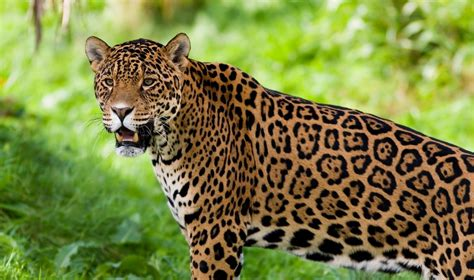 Perfect Jaguar Animal Pictures . Quality Images On Animal