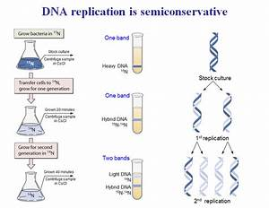 What is the semi-conservative model in DNA replication ...