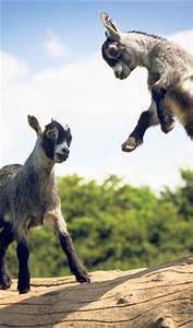1000+ images about Goats on Pinterest | Baby Goats, A Goat ...