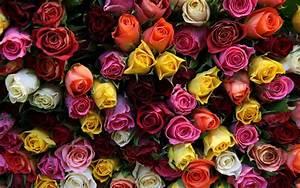 Colorful roses wallpaper - 1205538