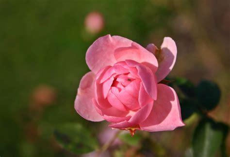 Rose  Blumen Lexikon Garten