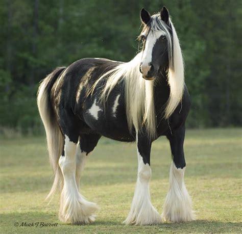 Gypsy Vanner - Horses Photo (30858070) - Fanpop