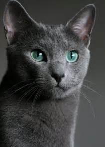 russian blue cats russian blue portrait by vihola on deviantart