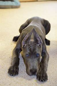 Blue Great Dane Puppy 18 weeks - Karma ( cropped ears ...