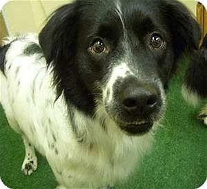 Spotty | Adopted Dog | Youngwood, PA | Border Collie ...