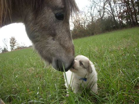 dogs horses pyrenees puppies cats horse puppy miniature smarter animals animaux dog jolies embrassent than kissing adorable memes animal funny