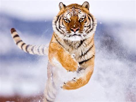 Amur Tiger In Snow #4170431, 1280x1024