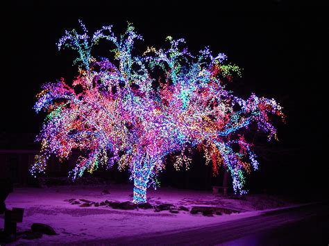 christmas lights in trees this crab apple tree has over 75 000 lights lining every