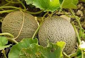 Wassermelone Anbau Balkon : melonenarten ein berblick ber verbreitung typen ~ Watch28wear.com Haus und Dekorationen