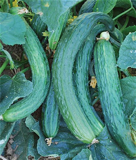 growing cucumbers growin crazy acres