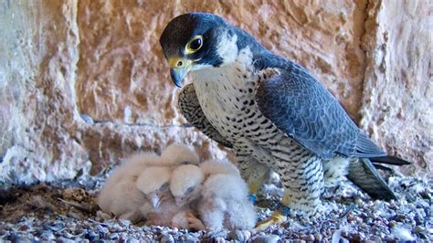 tierische flieger wanderfalke tierwelt natur planet