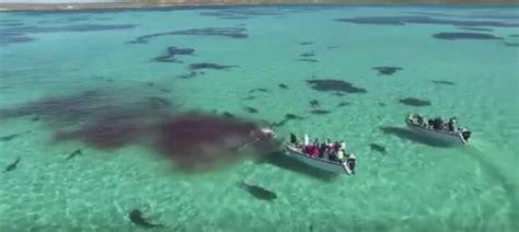 drone video captures shark feeding frenzy   cbs news