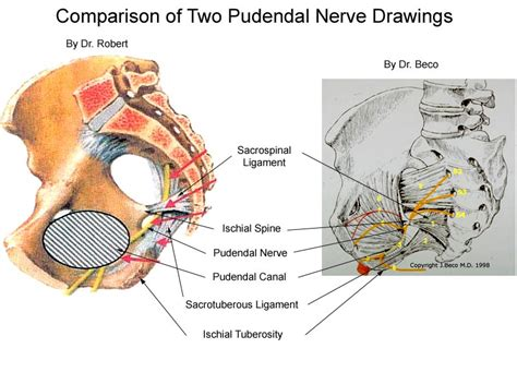 Anatomy The Pudendal Nerve Health Organization For