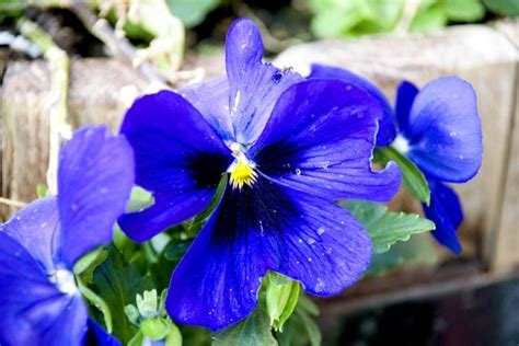 pansies pictures pics images    inspiration