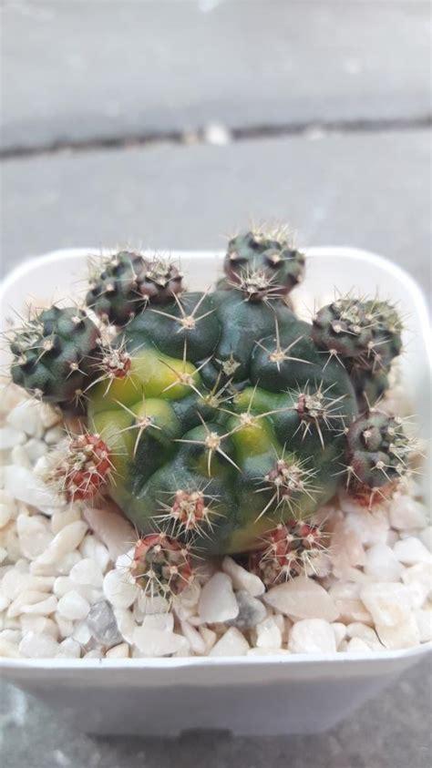 ขายต้นไม้ ยิมโนคาไลเซียม Gymnocalycium damsii ยิมโนแม่ลูกดกด่าง f. โดยร้าน Cake cactus farm รหัส ...
