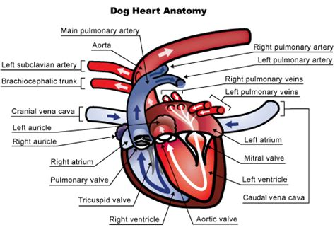 knowing heart murmurs in dogs pets world