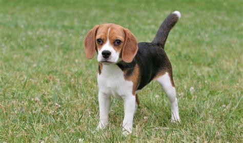 do beagles shed beagle breed information