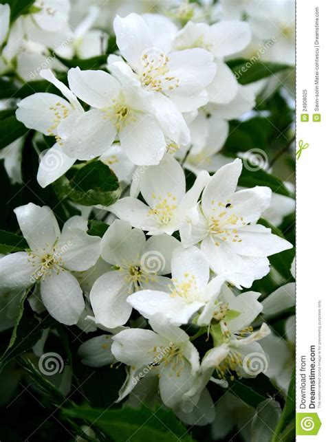 jasmine flowers  bloom royalty  stock photo image