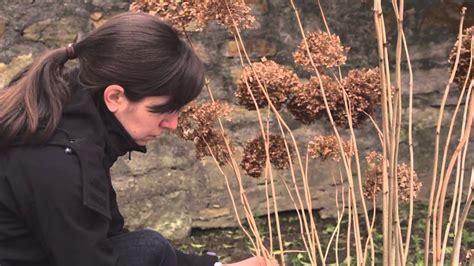 schneeball hortensie schneiden gartentipp fr 252 hjahrsschnitt der schneeballhortensie annabelle