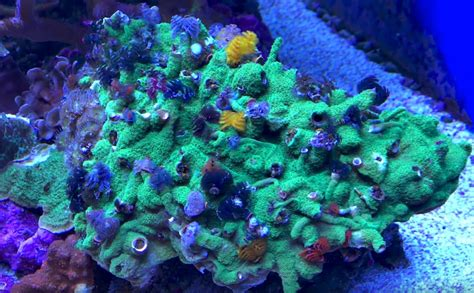 i m dying for a xmas tree worm rock like this coral videos