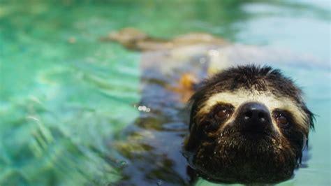 Planet Earth Animals Wallpaper - lovesick pygmy sloth planet earth ii america