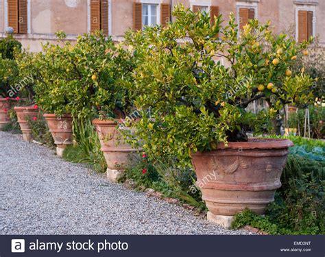 vasi per alberi toscana italia vecchi alberi di limone in enormi vasi di