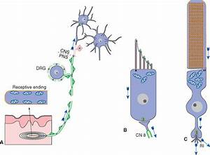 Sensory Receptors and the Peripheral Nervous System ...