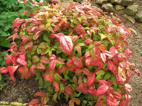 nana plants photos flowering shrubs summer color that beats the heat 171 plant shed