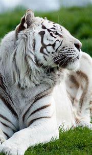 1080x1920 Wallpaper tiger, albino, grass, lie, predator ...