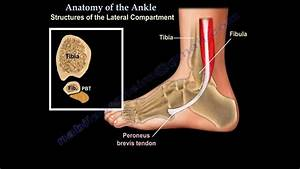 Anatomy Of The Foot  U0026 Ankle