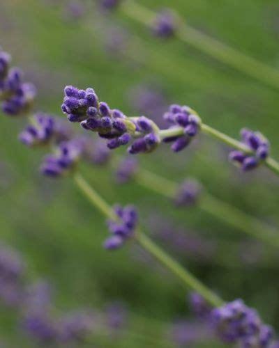 Herb Garden Essentials Grow Your Own Fragrant Lavender