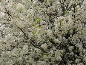 what trees white blossoms file white flowers everywhere blooming tree west virginia forestwander jpg wikimedia commons
