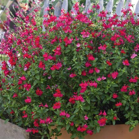 plante pour jardiniere exterieur plein soleil plantes fleuries exterieur plein soleil 28 images plantes retombantes 224 fleurs et vivaces