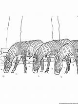 Zebra Coloring Pages Grass Printable Related sketch template