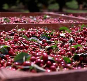 Chinese Tariffs To Put U S  Cherry Export Growth Under