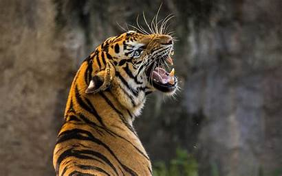 Tiger 4k Wallpapers Tigers Wide