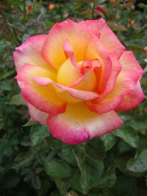 floribunda roses 3d s perfume floribunda favorite flowers perfume roses and