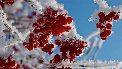 Winter Berries Frost Snow Twig Macro Branch