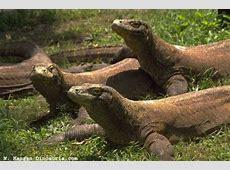 Le dragon de Komodo par Kylian Webécoles Vienne 2